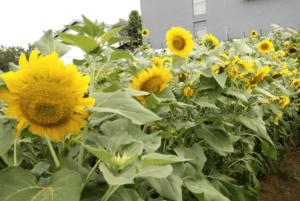 Kebun Bunga Matahari Kediri