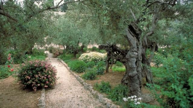 Viejos olivos en el Jardín de Getsemaní. Foto cortesía del Ministerio de Turismo de Israel.