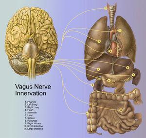 Nervio_Vago