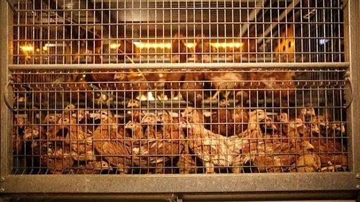 pollos en jaulas