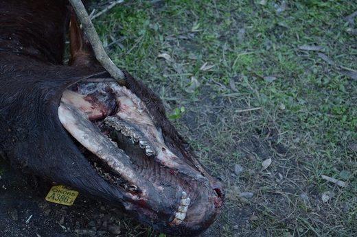 Caso de mutilación de ganado ocurrido en Colonia Durán, provincia de Santa Fe, Argentina (Foto: Cortesía de Hernan Agustini)