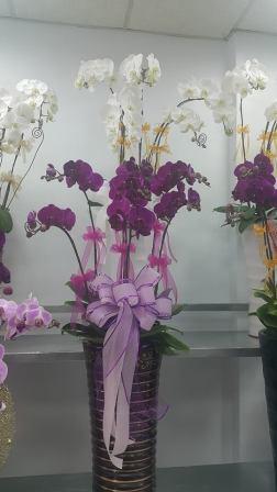 藝軒蘭園-蘭花,蘭花盆栽,蘭園,蘭花園藝,園藝,盆景