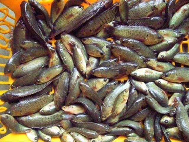 การอนุบาลลูกปลาหมอ