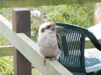 babykookaburra_ulladulla