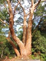 redgum4trunks_arboretum_pearlbeach