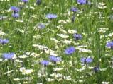 cornflowers&daisies_marchfeld_may22