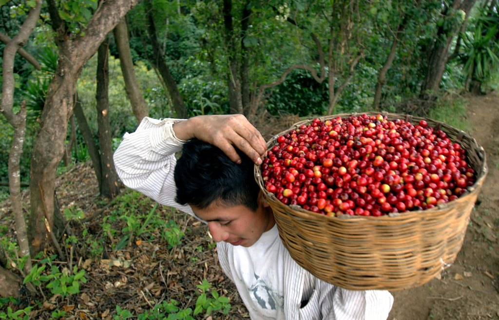 Cosecha de café en Guatemala