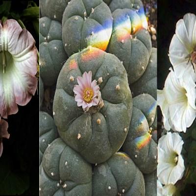 #PlantasMágicas: El peyote y otras plantas que te hacen viajar a otra dimensión