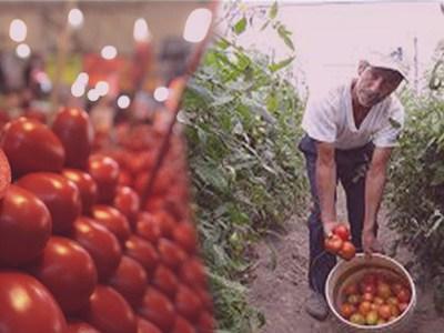 Revelan que pasará con los tomates mexicanos que son exportados a EU