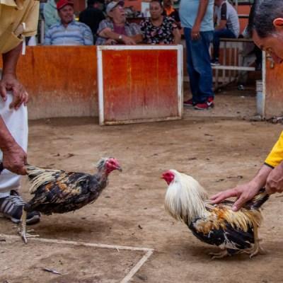Policía muere a causa del ataque de un gallo de pelea