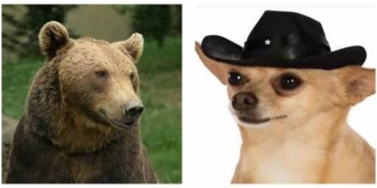 VIDEO | Un perro chihuahua enfrenta a un oso y lo ahuyenta en Monterrey