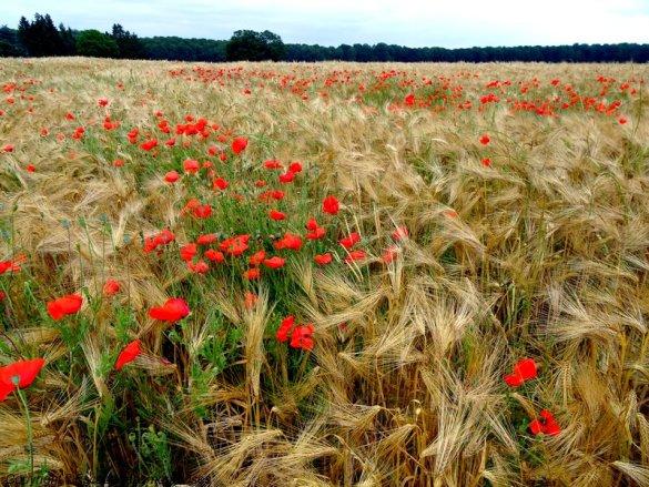 champs de blé lyons la foret