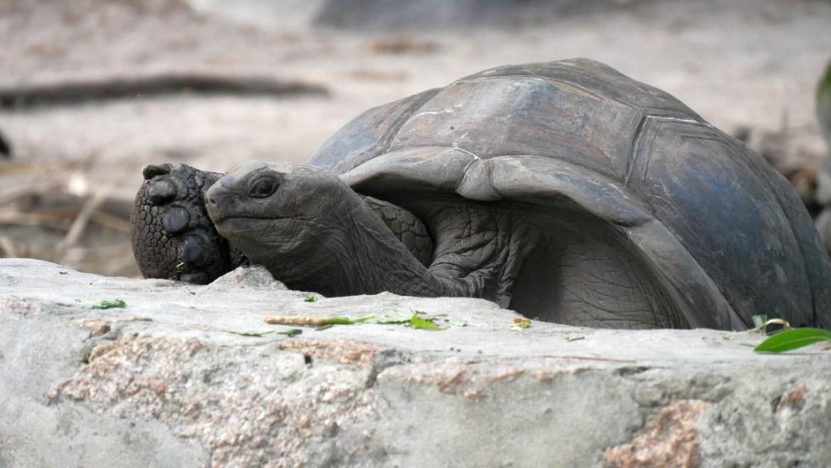 a tortue géante Aldabra la digue seychelles