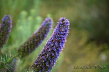 Echium ou vipérine géante - jardin exotique de Roscoff