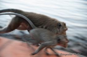 Kep - macaques en liberté