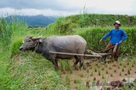 Buffle -labourage dans la rizière