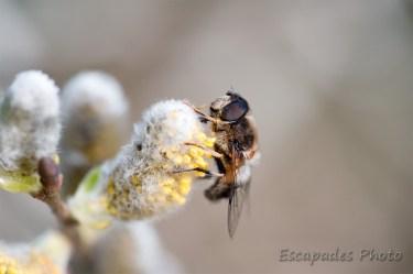 Antophore ou diptère sur fleur de saule