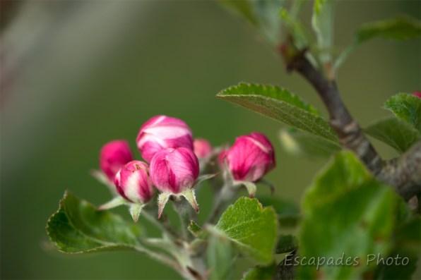 Pommier - bouton de fleur