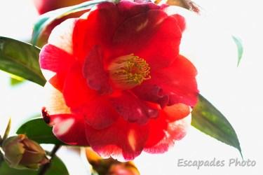 Camélia en fleur - jardin de printemps