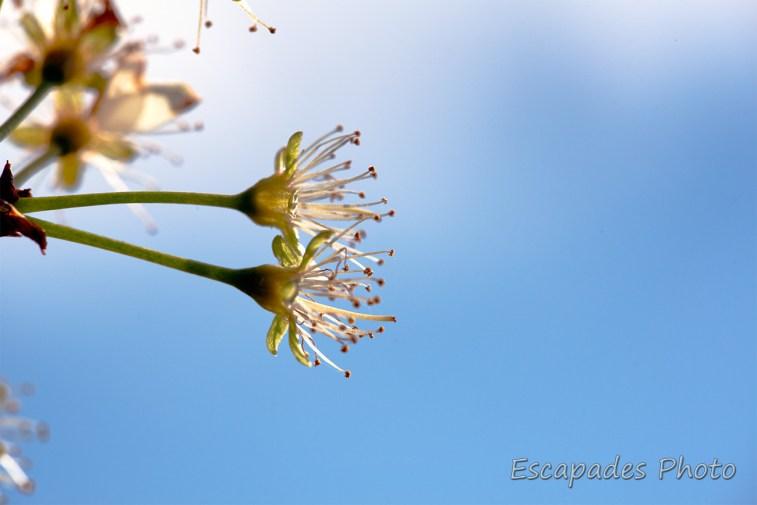 Fleurs de prunier fécondées