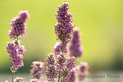 Bruyère mediterranéenne , fleur