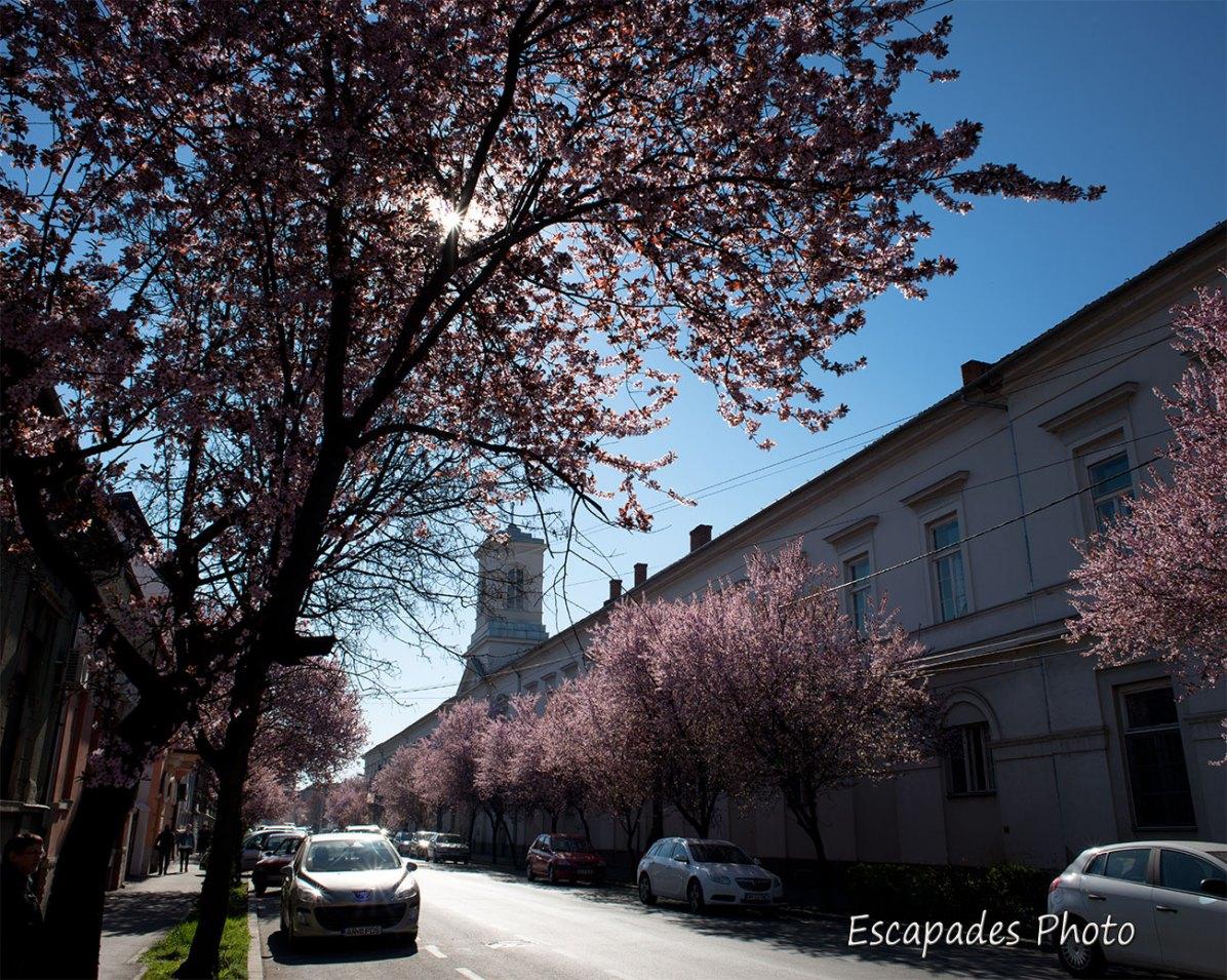 Arad - Prunus en fleur