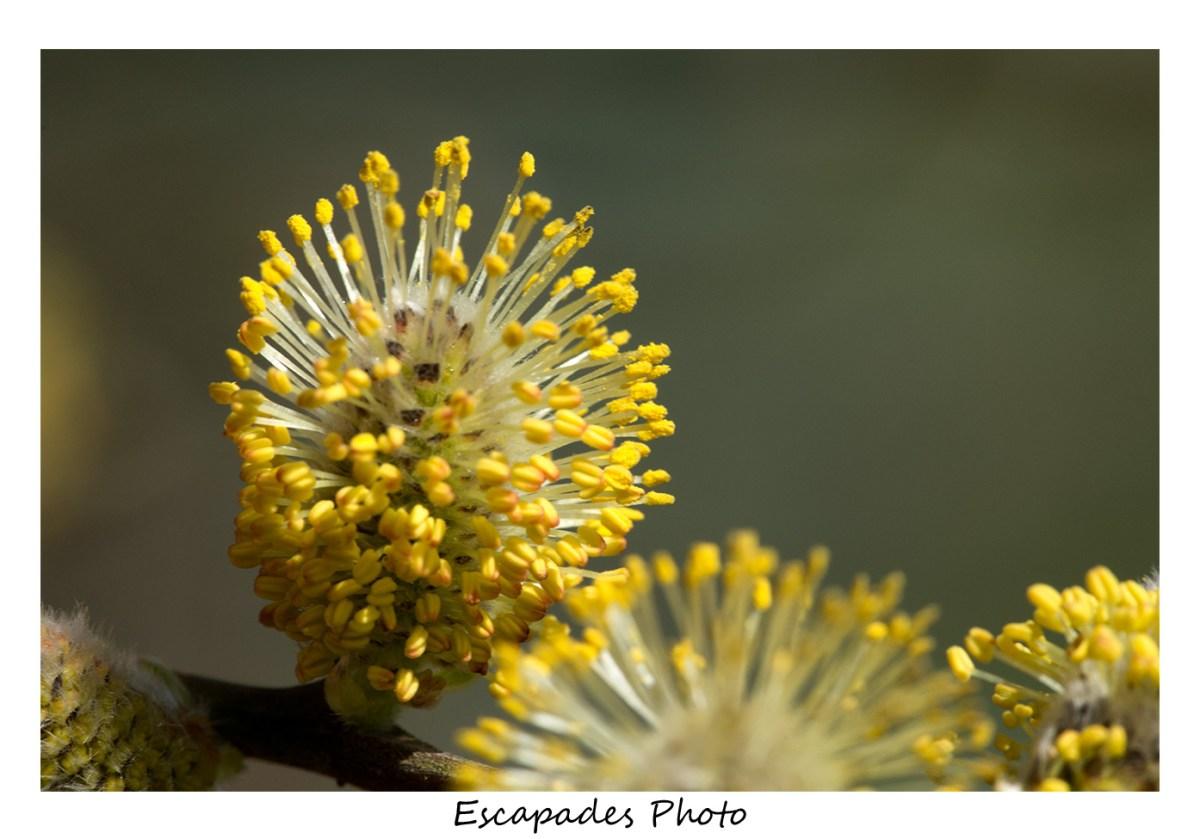 Châton de saule marsault - pollen sur les étamines