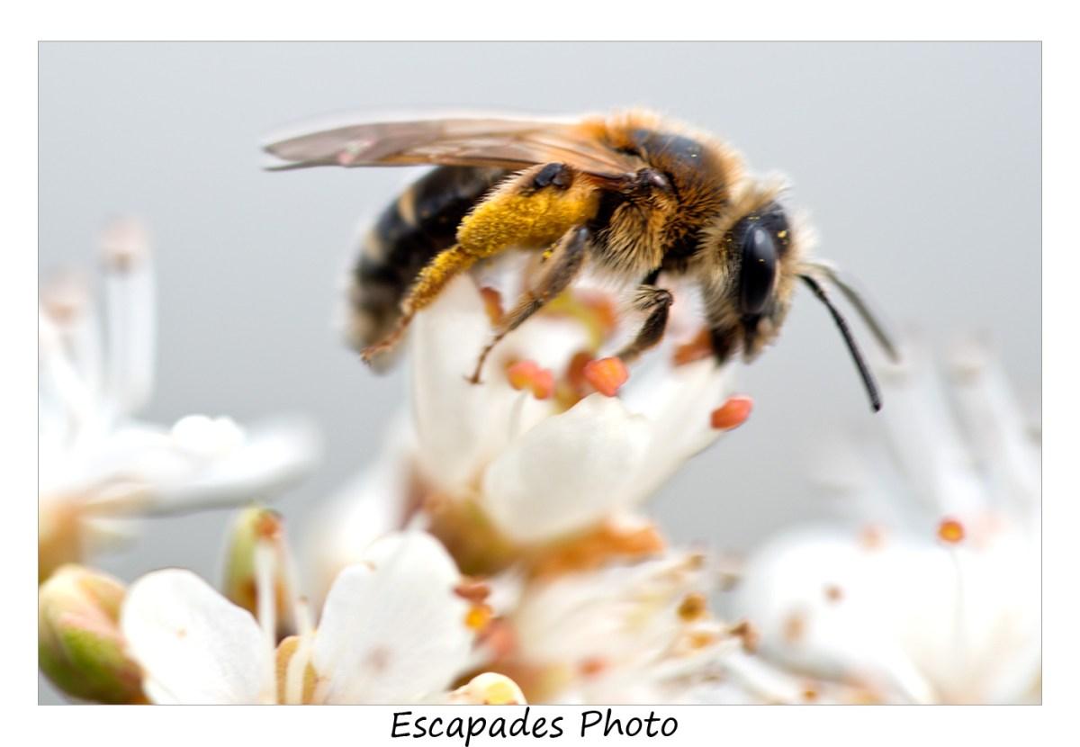 Abeille sauvage sur une fleur de prunellier