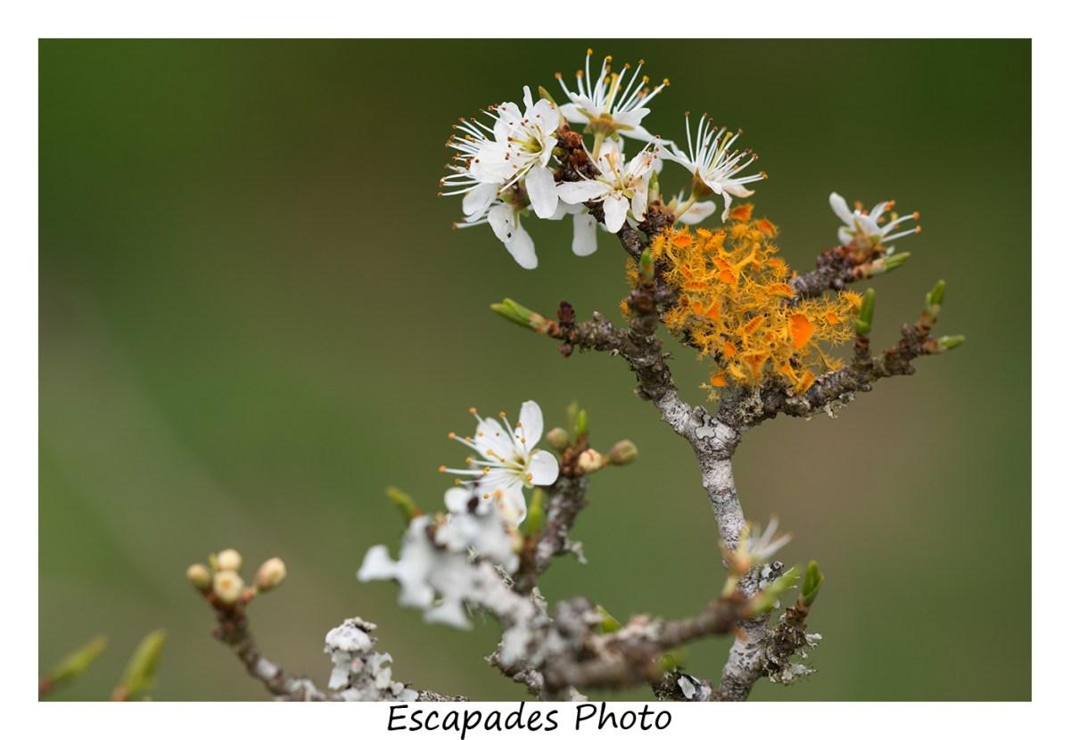 Lichens sur prunellier en fleur