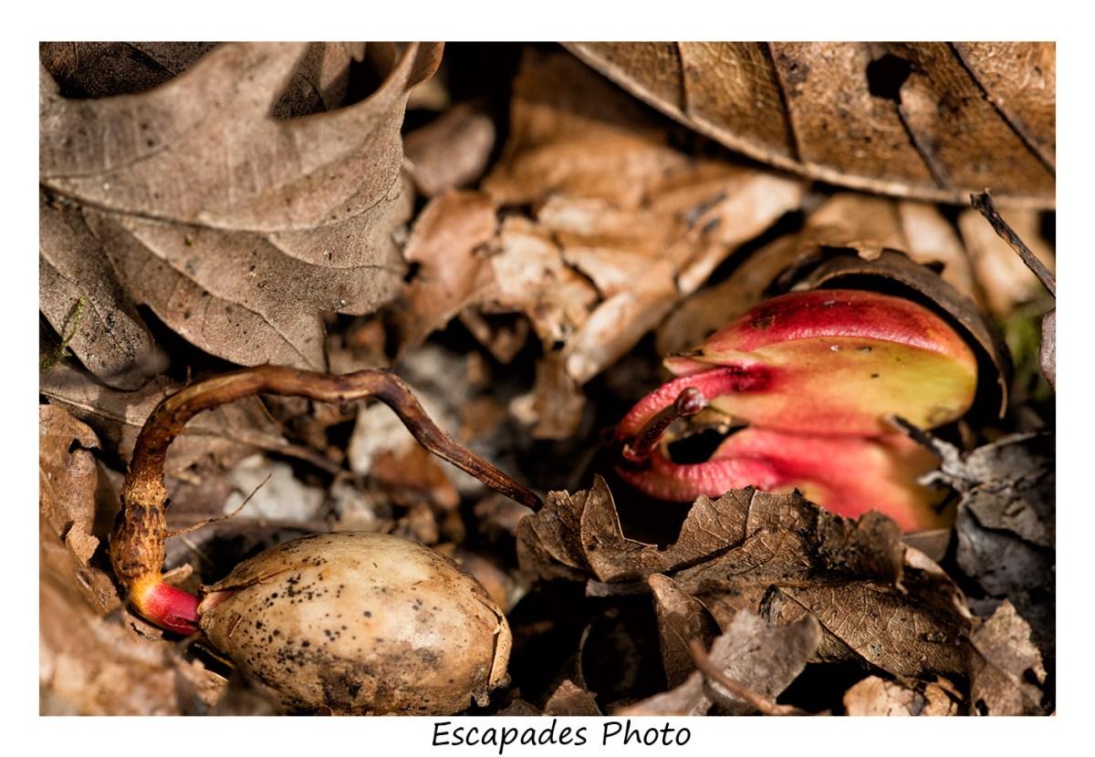 Gland de chêne pédonculé - la germination