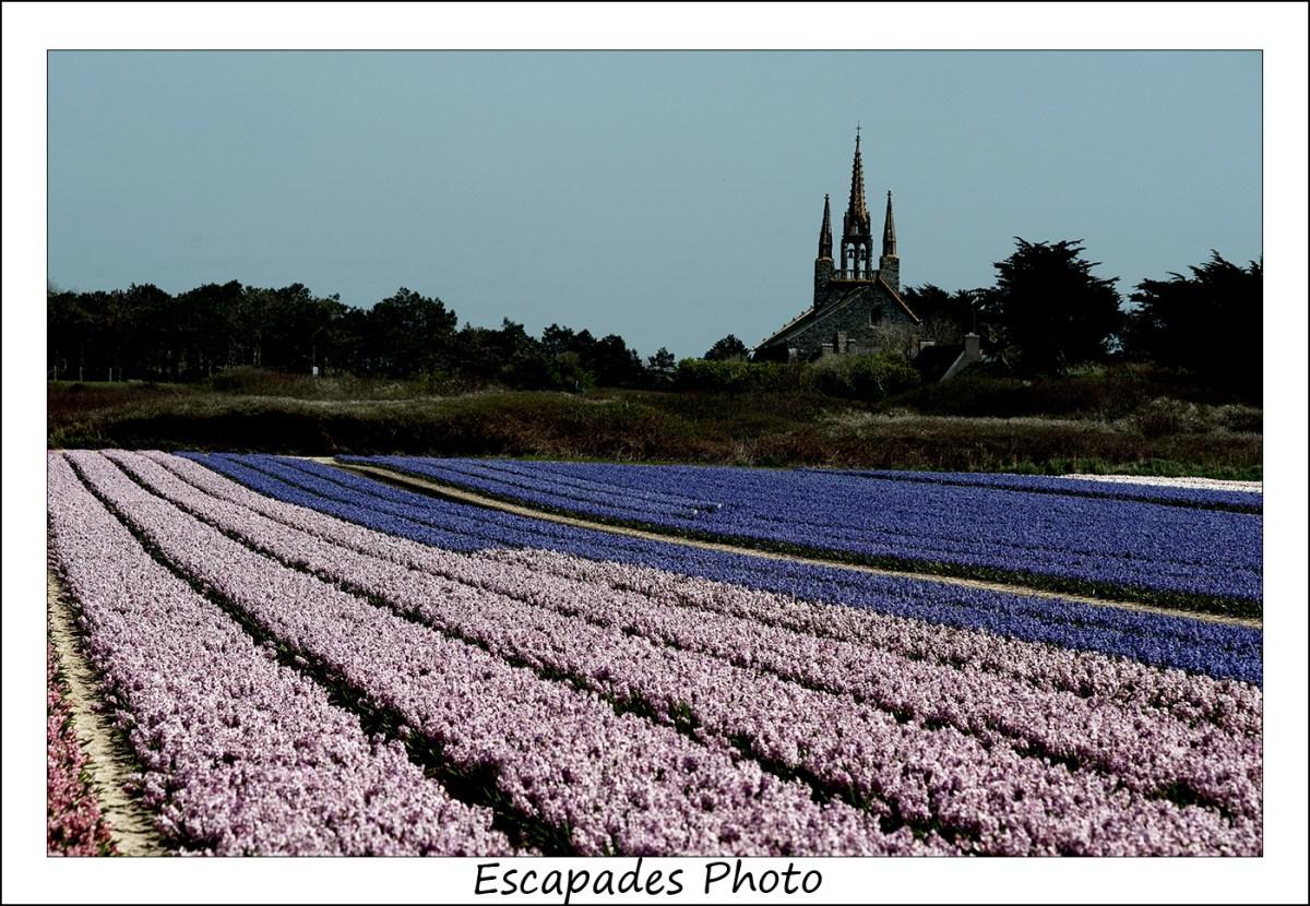 Jacinthes en fleur à Tronoën