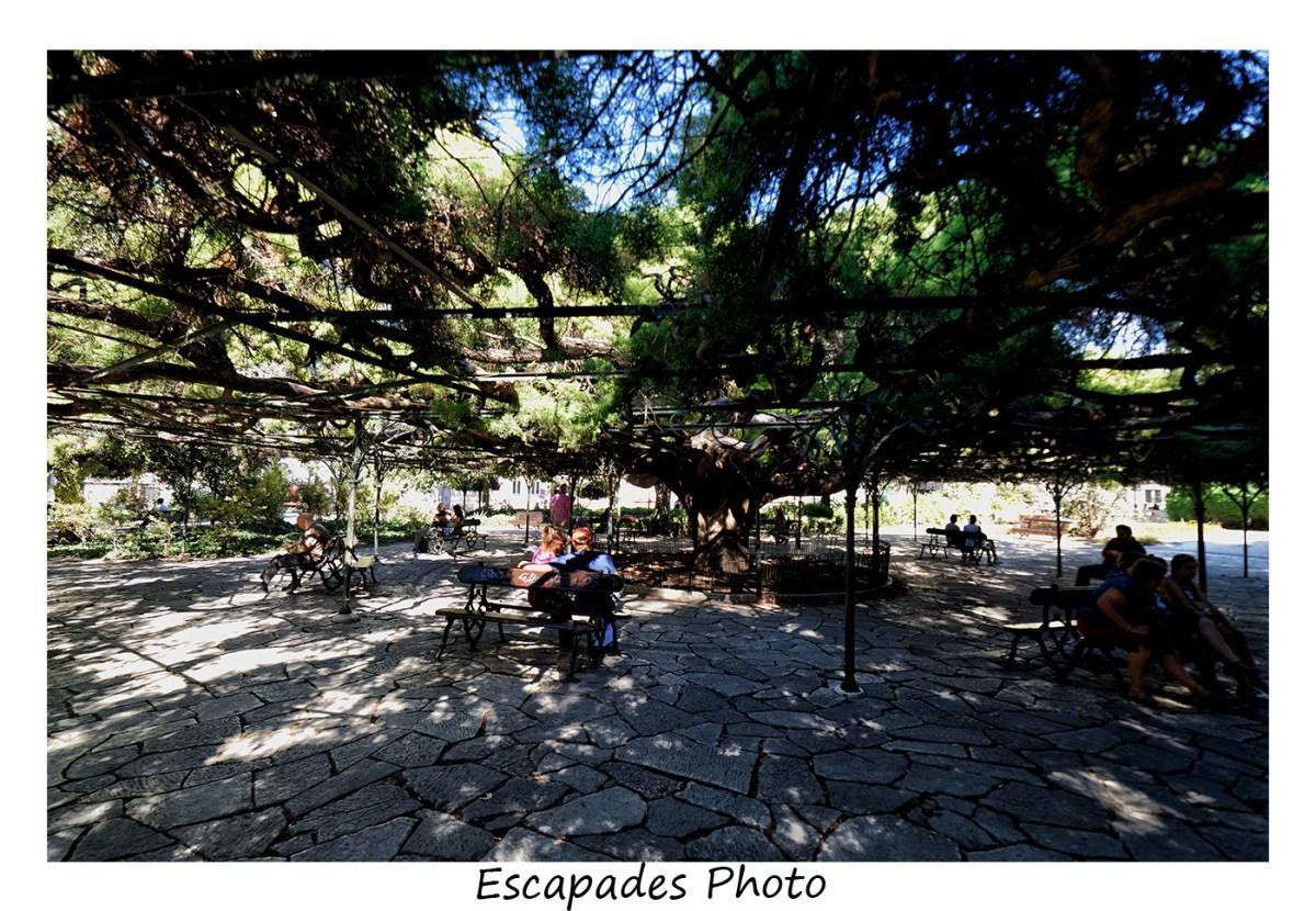 Cédre centenaire jardin de Principe Real