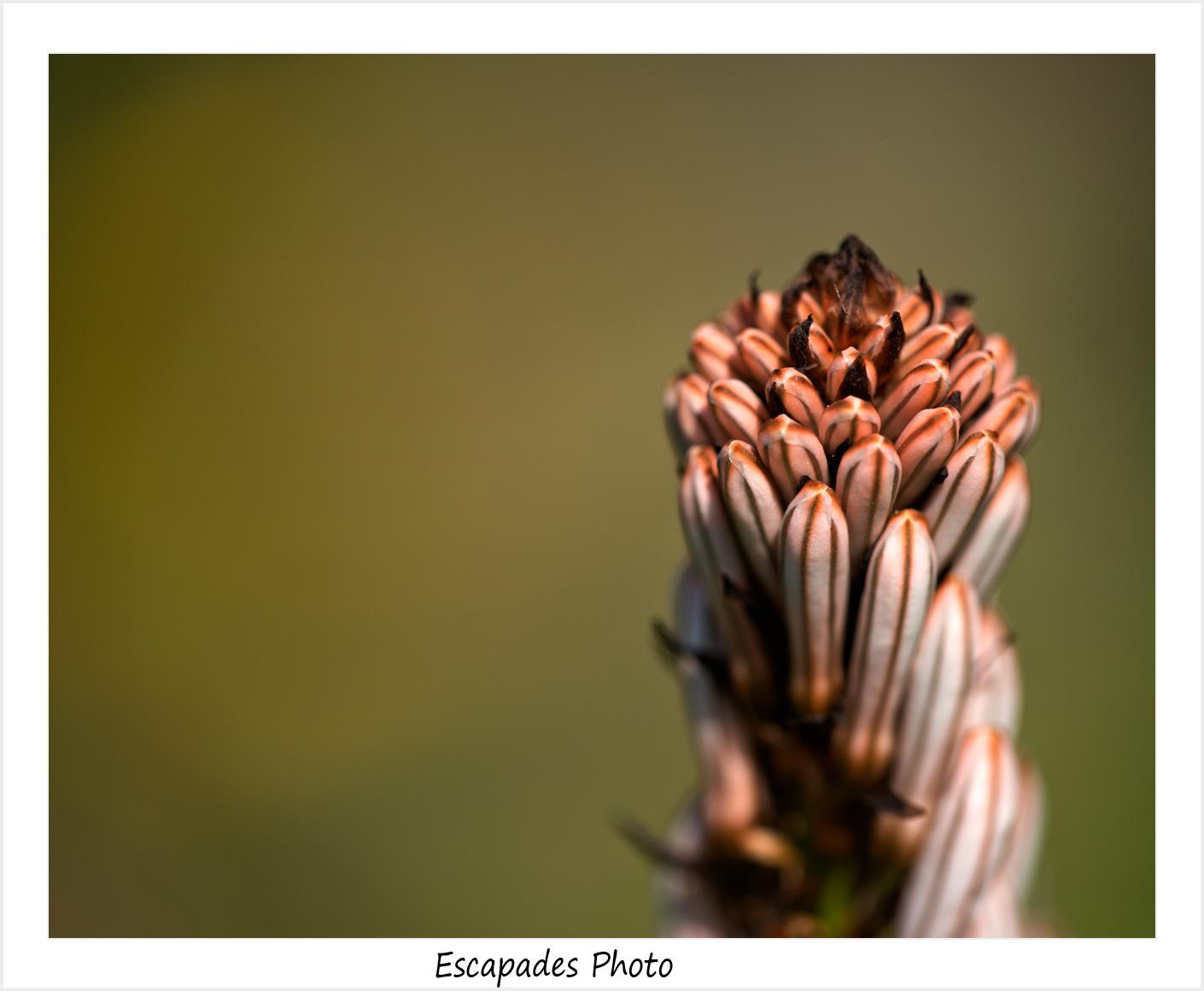 Abeille en survol de fleurs d'Asphodèle