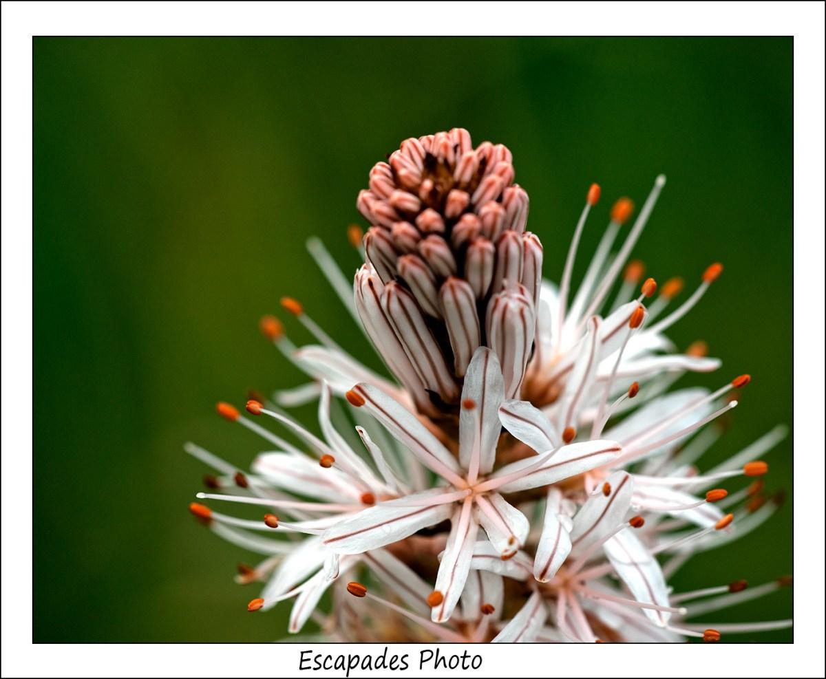 Asphodèle d'Arrrondeau : La floraison