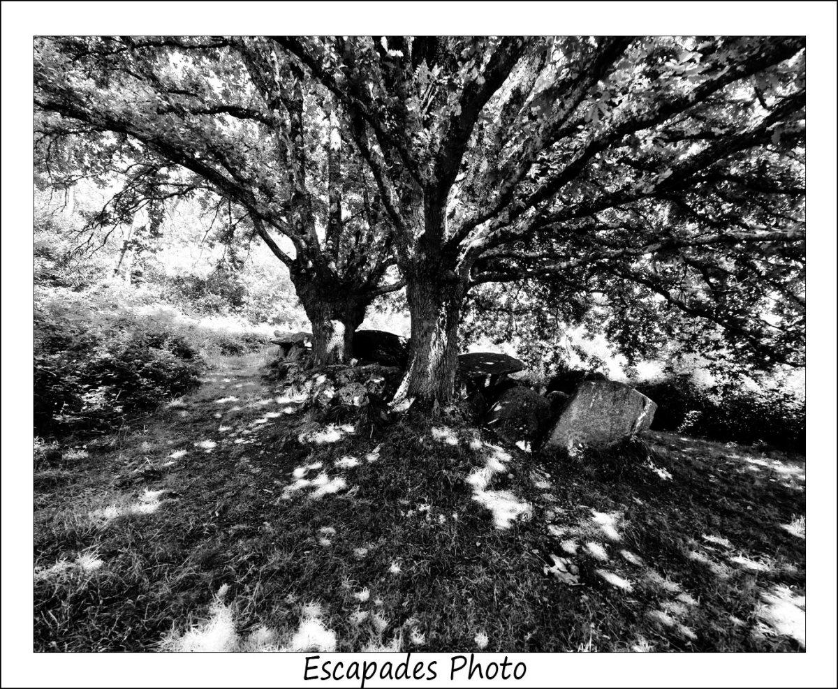 Kermeur -Bihan - jeux de lumière sous le houppier des chênes
