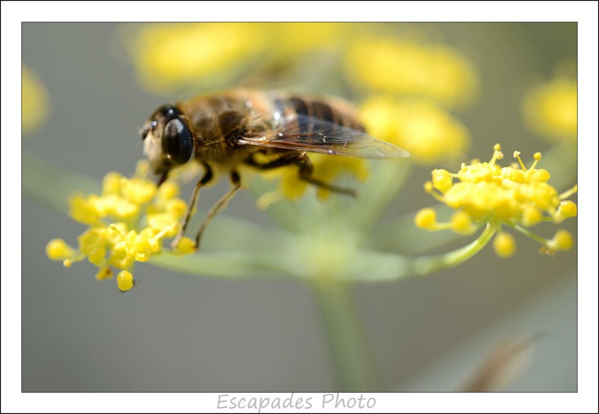 abeille sauvage sur fenouil commun