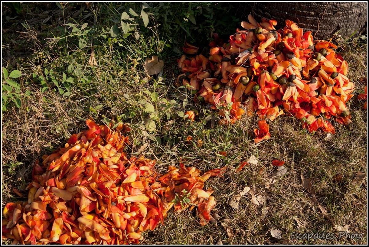 Fleurs kapokier rouge : cueillette