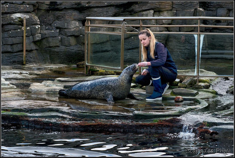 Nourrissage des phoques à Océanopolis