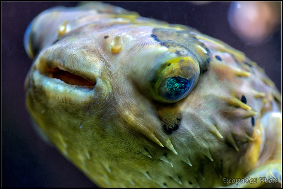 Diodon holocanthus -poisson porc-épic