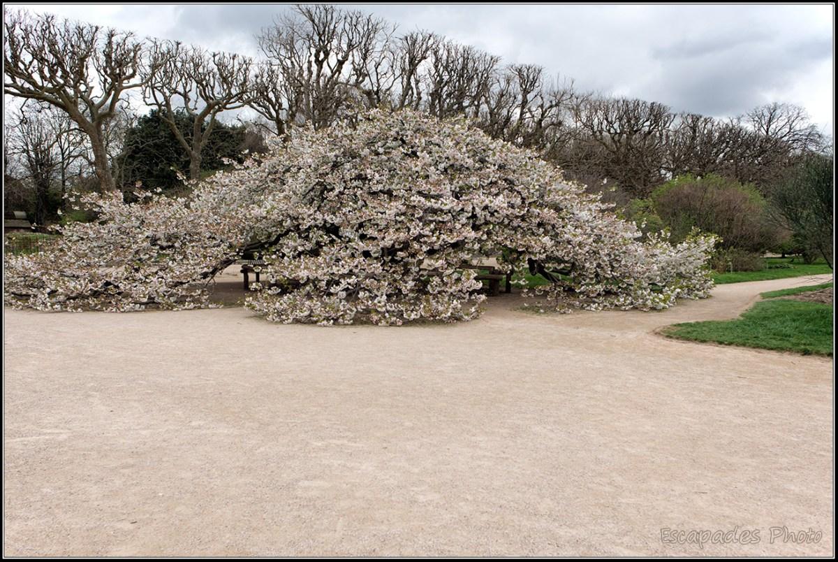 Cerisier fleur du Japon - Jardin des Plantes