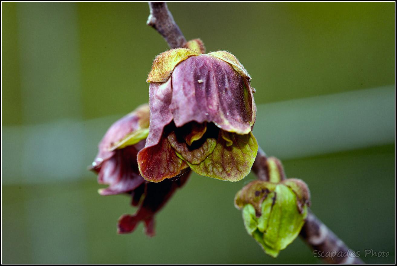 Asiminier trilobé en fleur – un arbre exotique