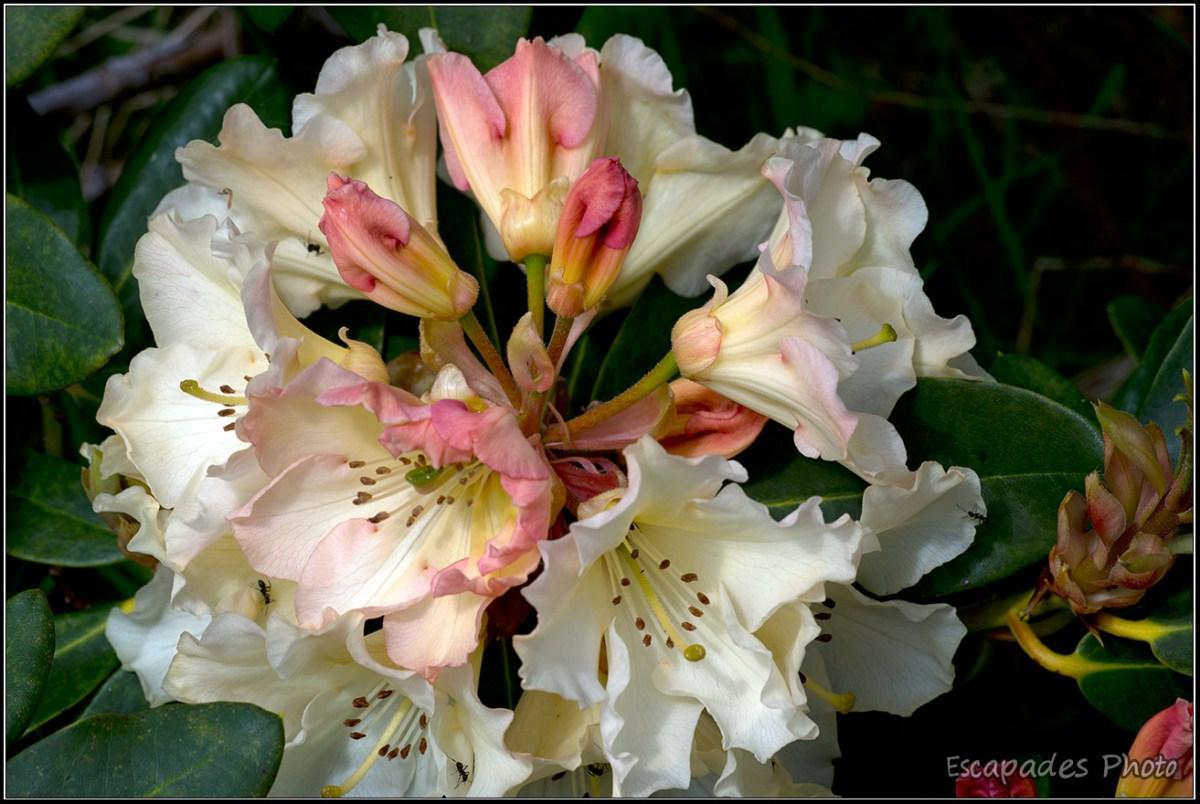 La fleur s'épanouit en couronne