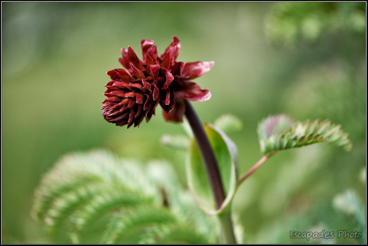 Grande Mélianthe ou melianthus : La floraison