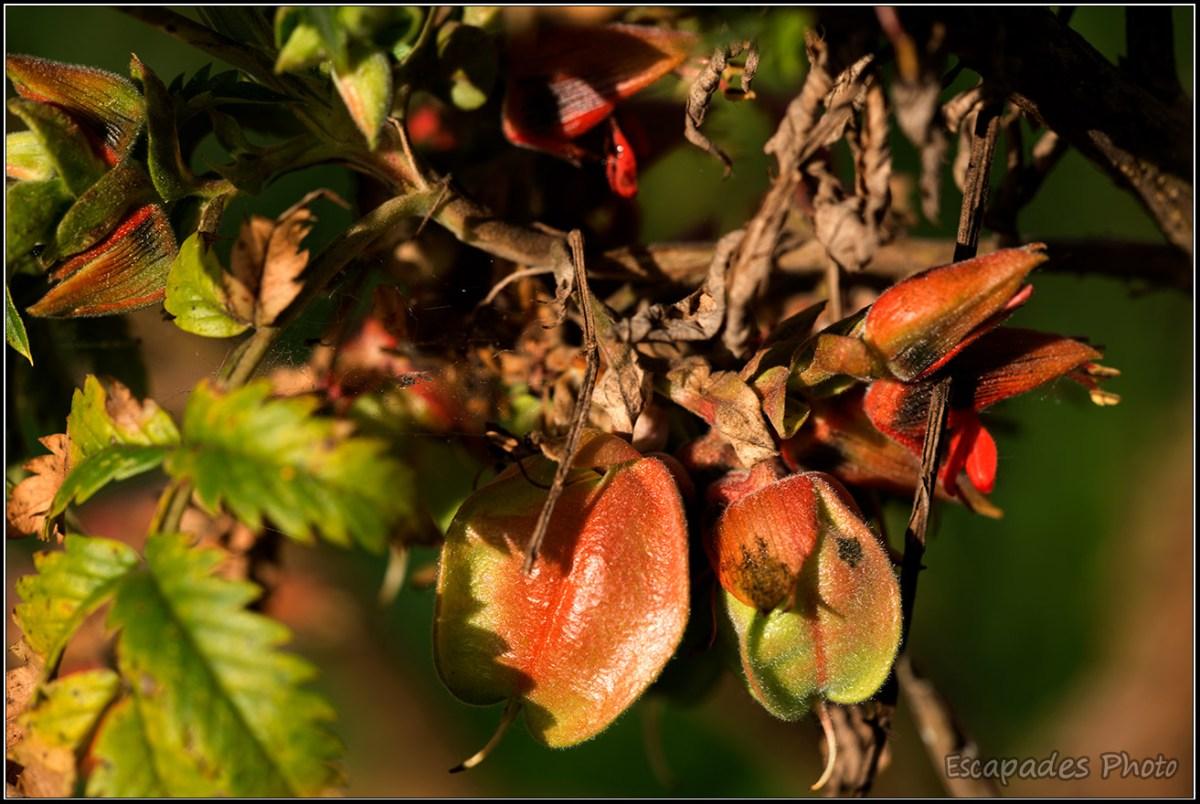 Capsule graine de melianthus comosus