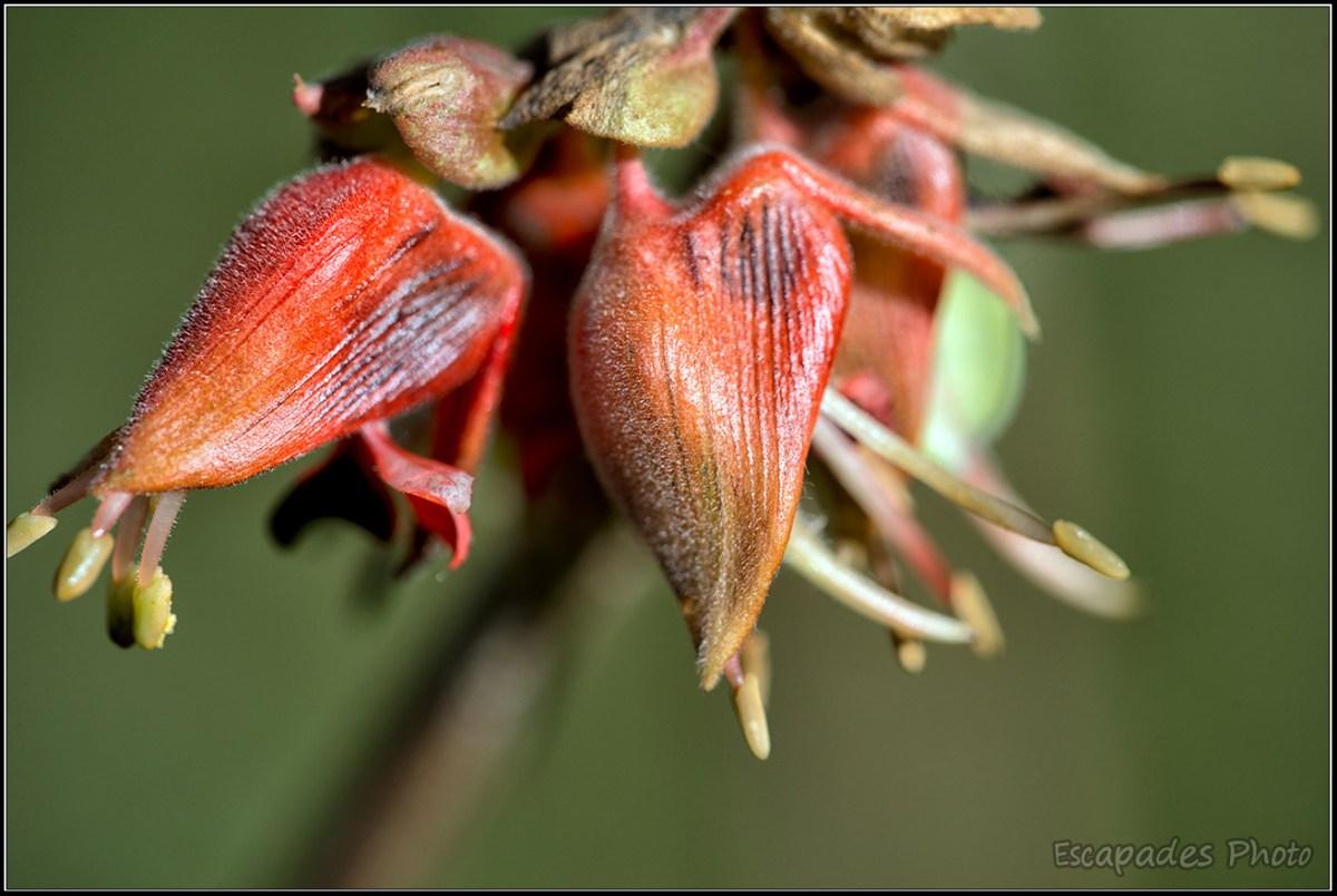 Fleur de melianthus comosus