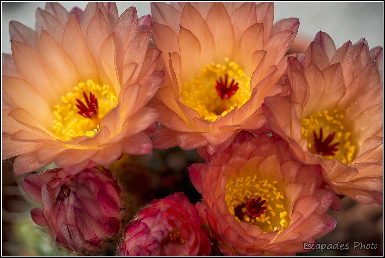Cactus en fleur et ses pétales translucides