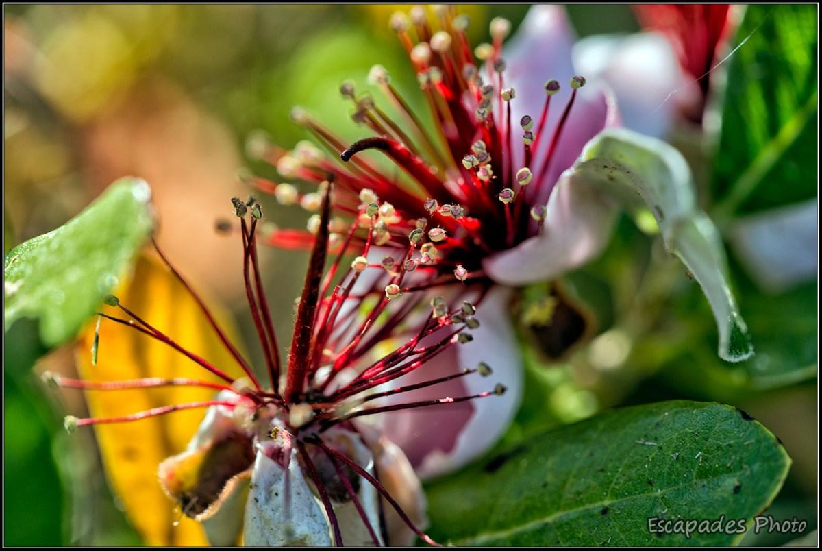 Feijoa sellowiana en fleur