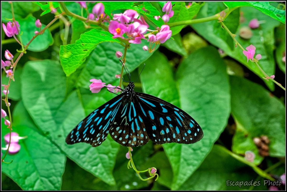 Tirumala septentrionis - Kuala Lumpur Butterfly Park : Un aperçu des papillons tropicaux dans un parc dédié aux papillons