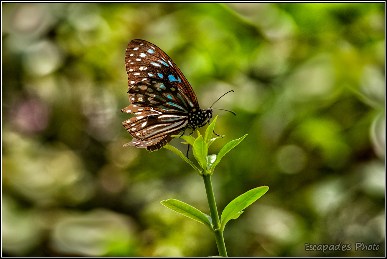 Tirumala septentrionis – Kuala Lumpur Butterfly Park