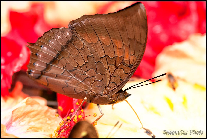 Butterfly Park Papillon sur hibiscus Butterfly Park de Kuala Lumpur